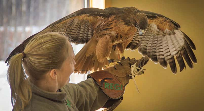 "Abbey letting Juliet (red-tailed hawk) say ""hi"" to the crowd."